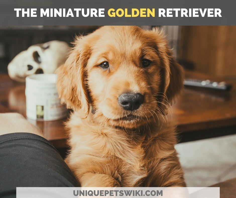 the miniature golden retriever