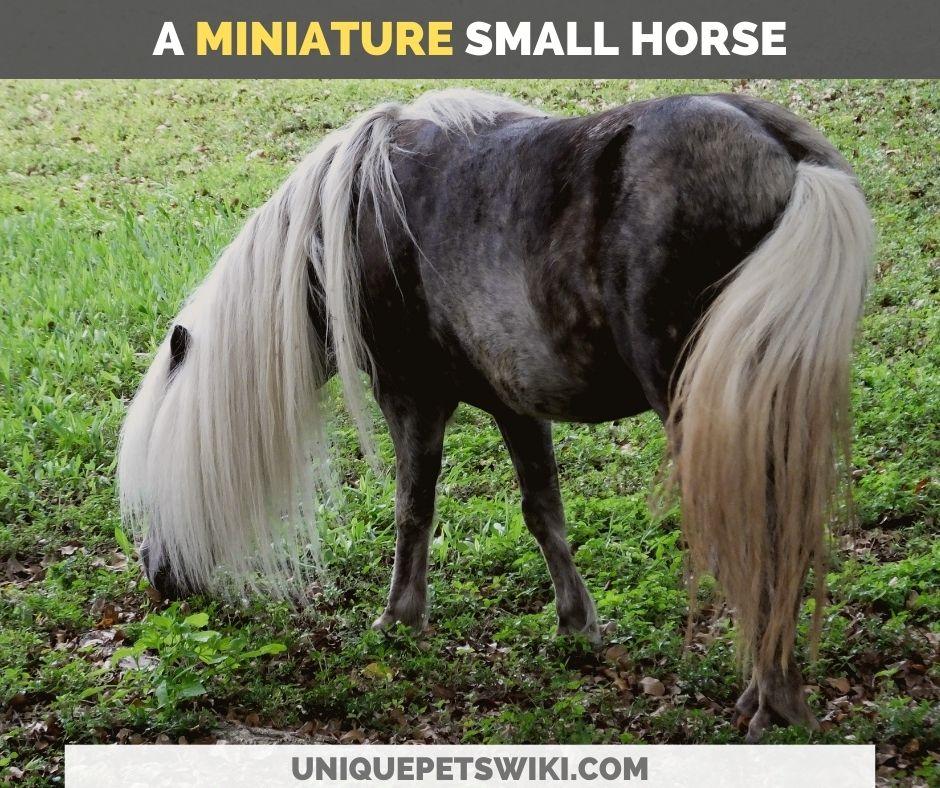 a miniature horse
