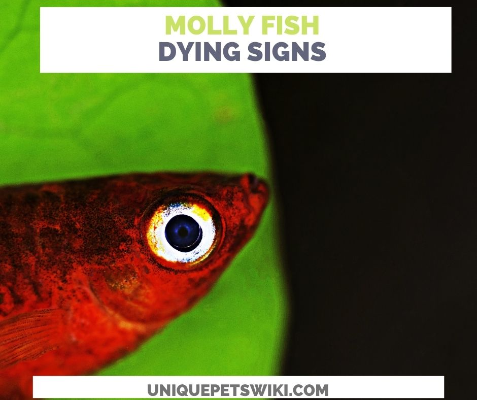 Ten (10) Signs Of A Dying Molly Fish