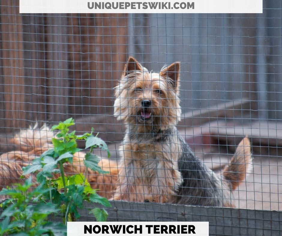 Norwich Terrier small energetic dog
