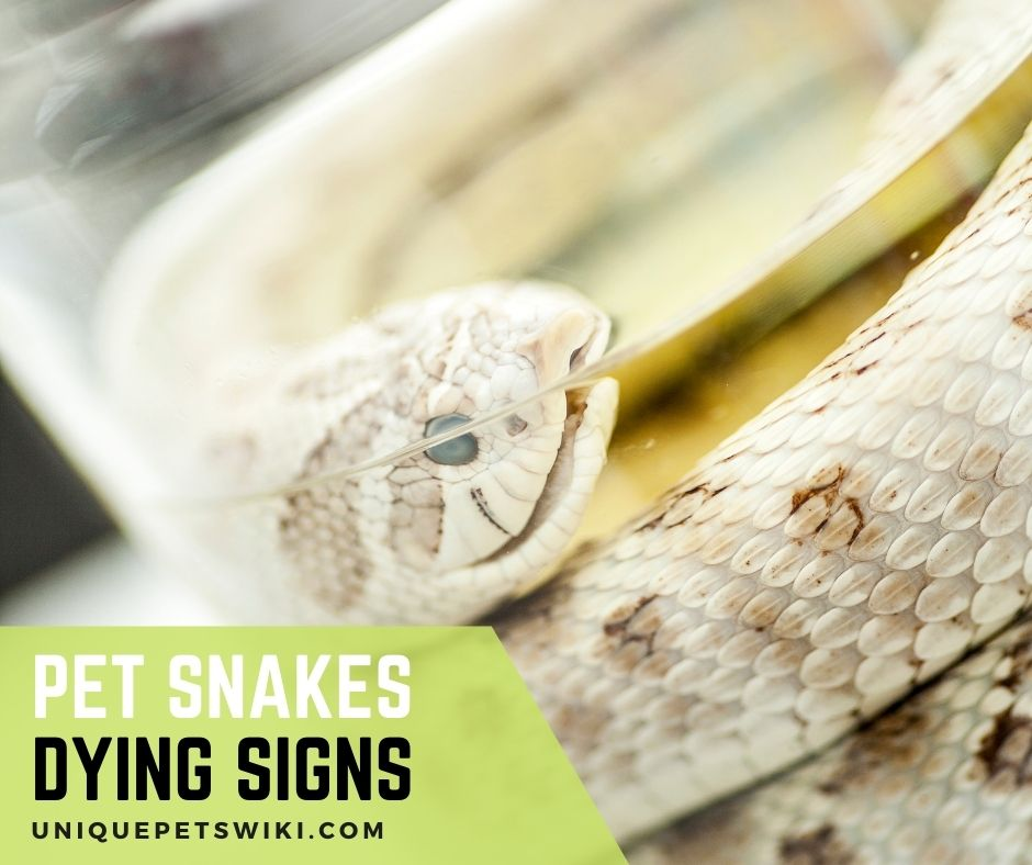 Pet snakes dying signs