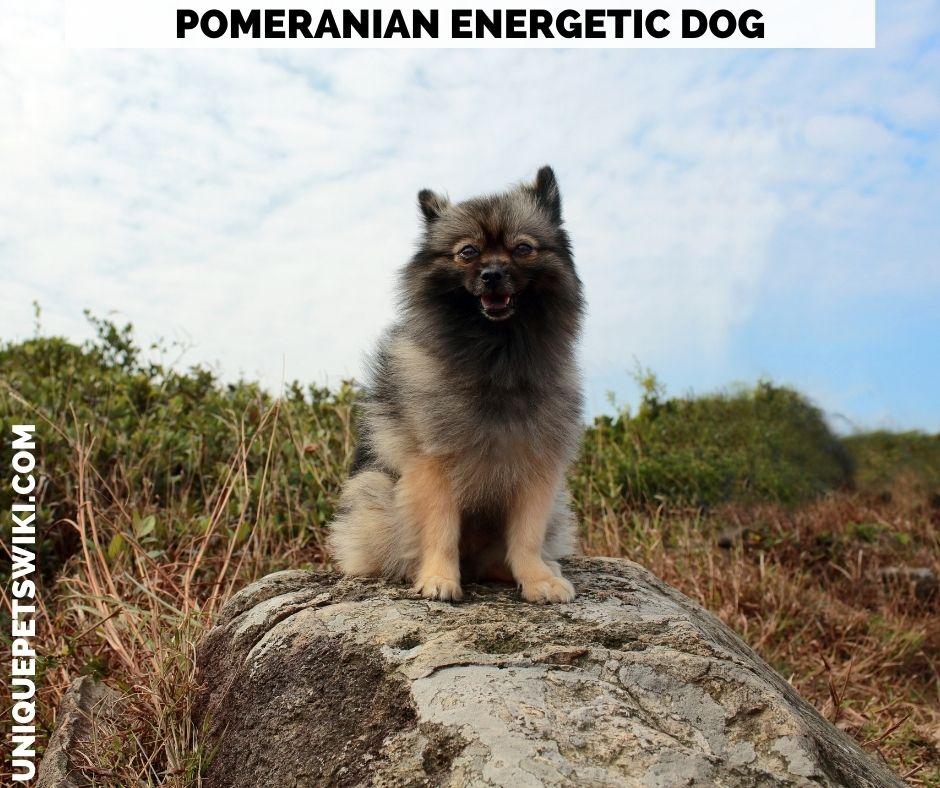 Pomeranian energetic dog