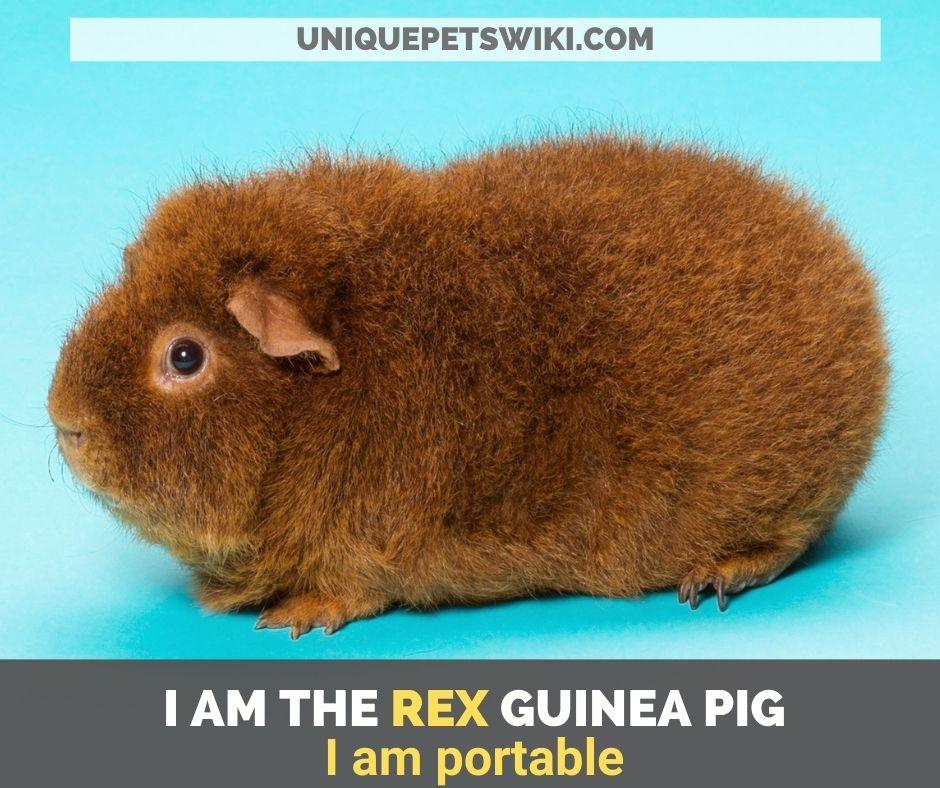 ex guinea pig