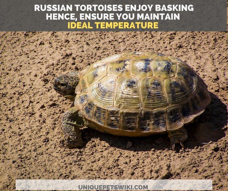 Russian tortoise in the wild basking