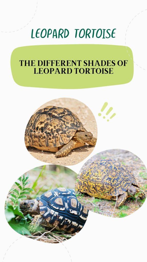 different looks of leopard tortoise