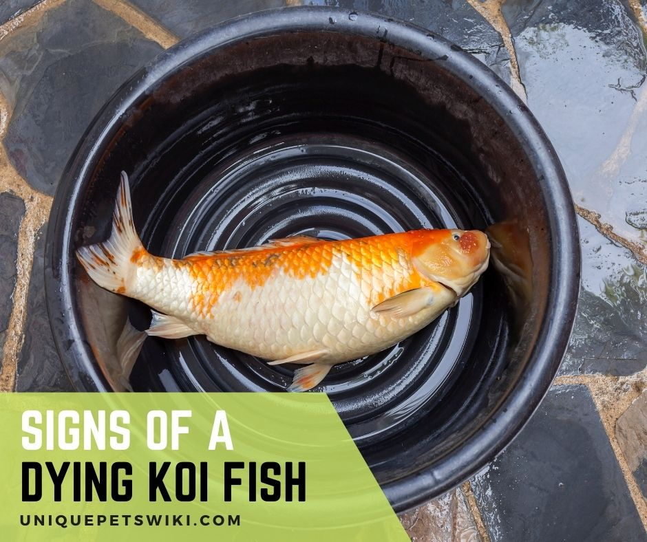 Signs of a dying koi fish