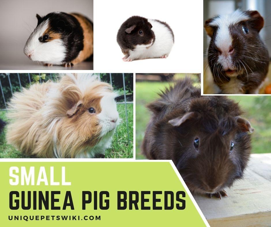 small guinea pig breeds