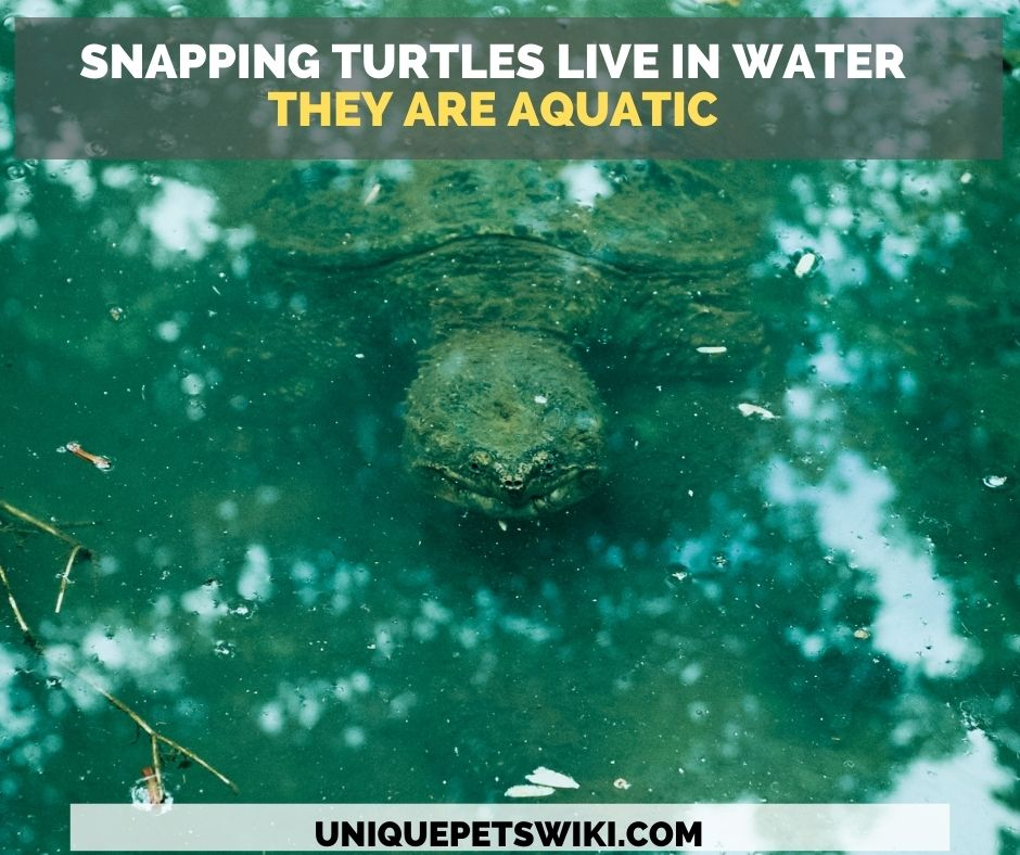 Snapping turtles live in slow-moving body of water