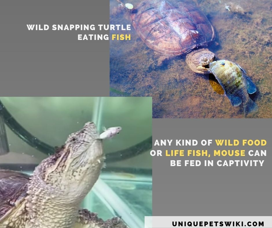 wild snapping turtle eating life food