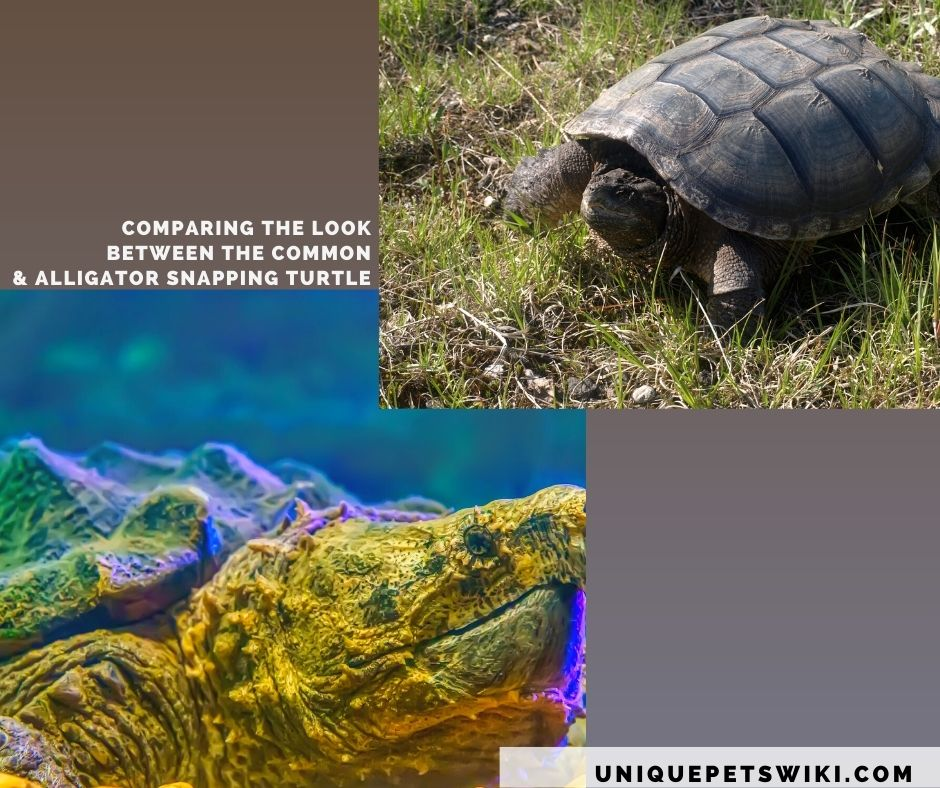 snapping turtles subspecies differentiated