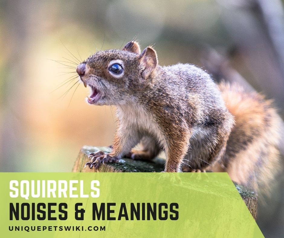Squirrel noises meaning