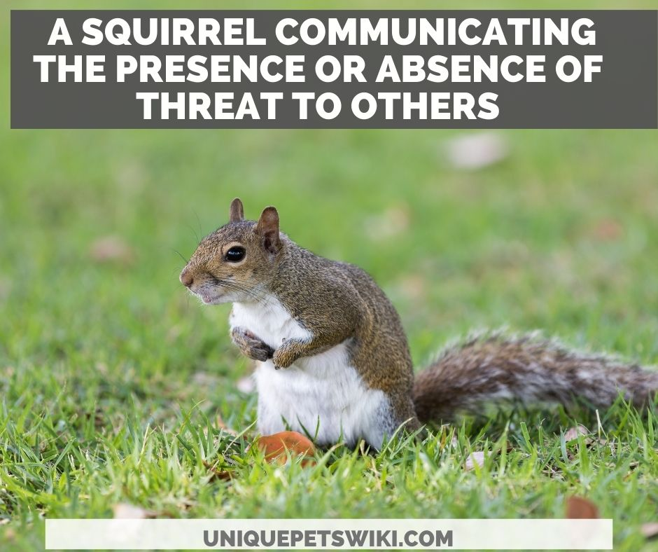 a surveillance squirrel communicating the presence or absence of threat to others