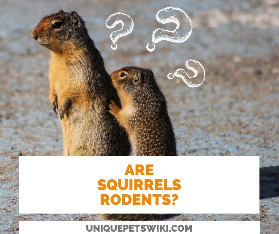 Are Squirrels Rodents?
