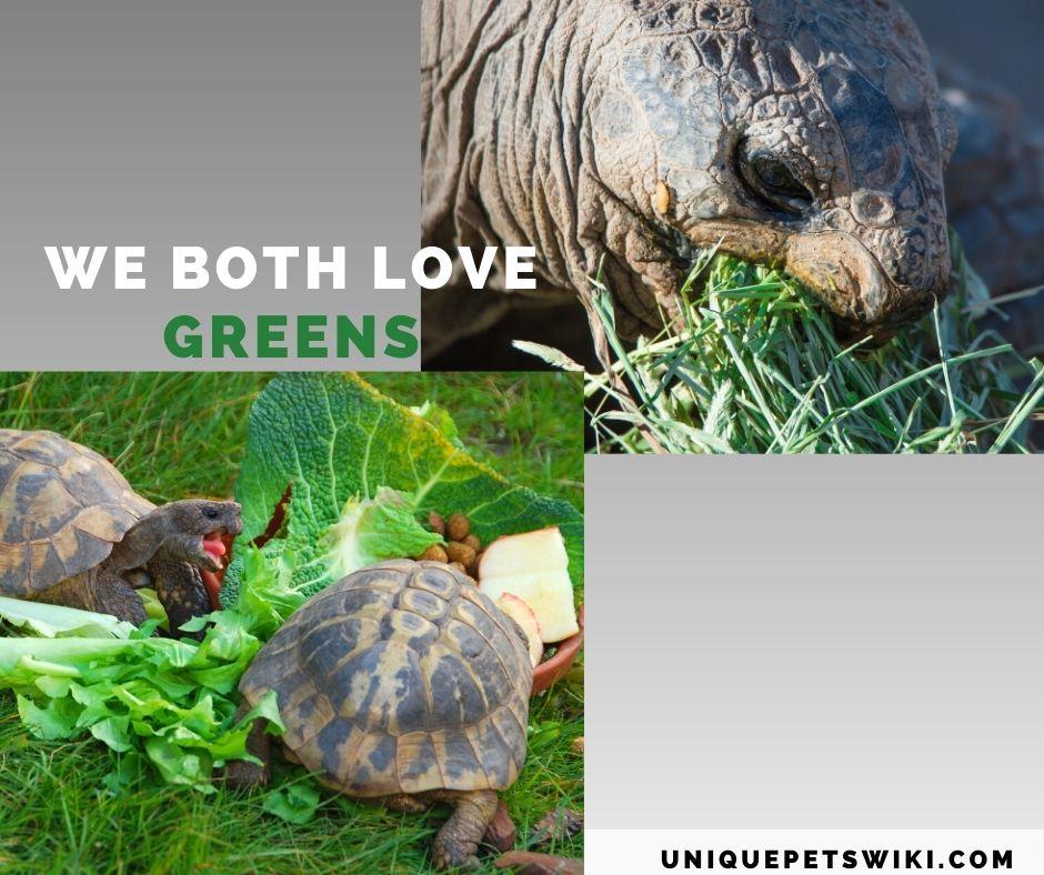 sulcata and Hermann tortoise eating