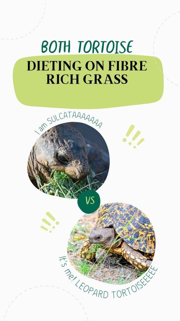 Sulcata vs. Leopard tortoise eating grass