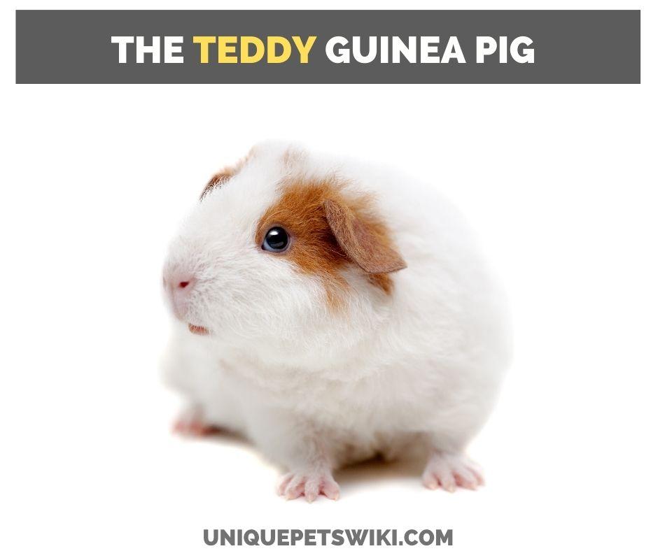 the teddy guinea pig