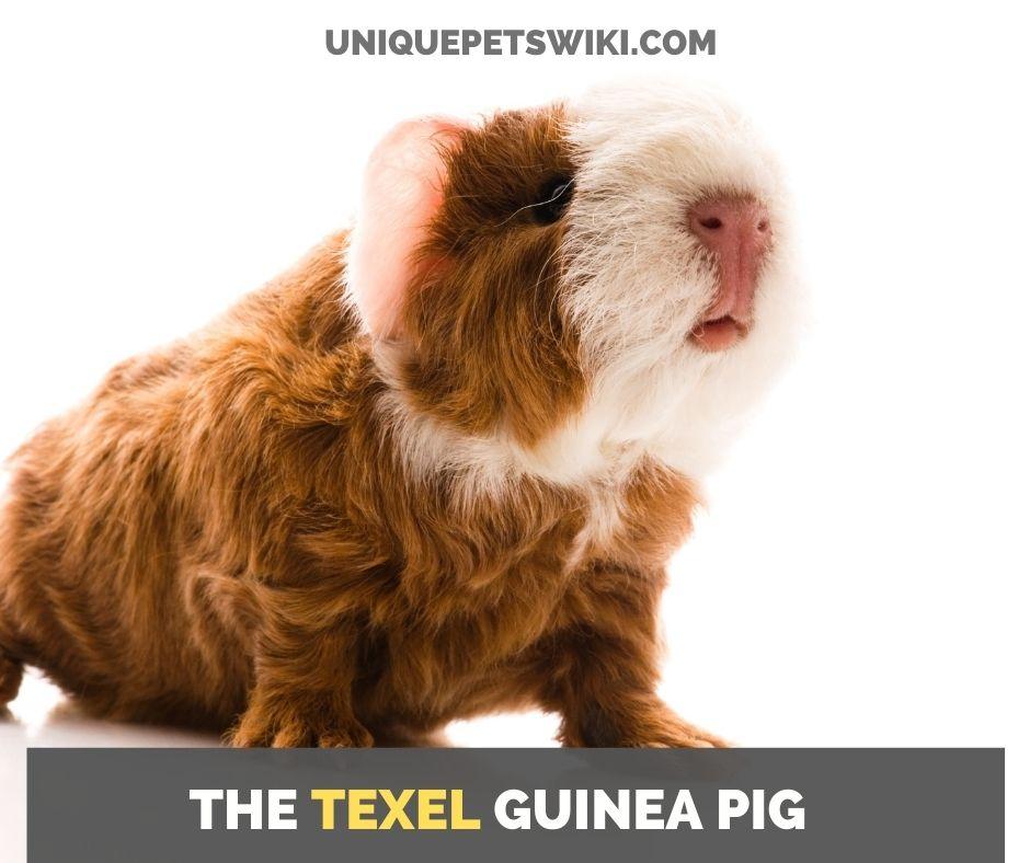 the texel guinea pig