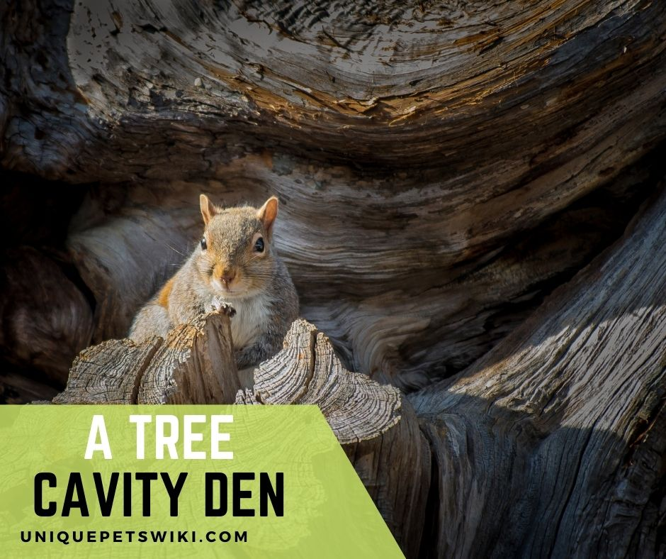 A Squirrel making its drey out of a tree cavity