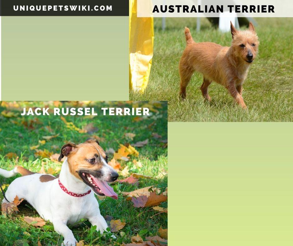 An Australian Terrier and Jack Russel Terrier