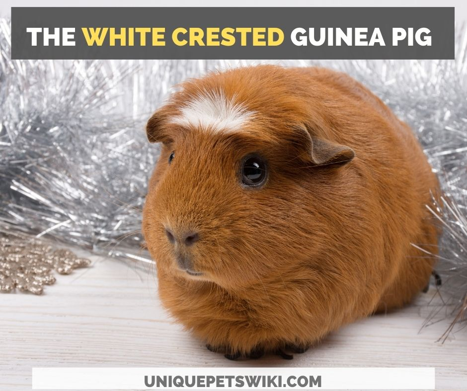 the white crested guinea pig