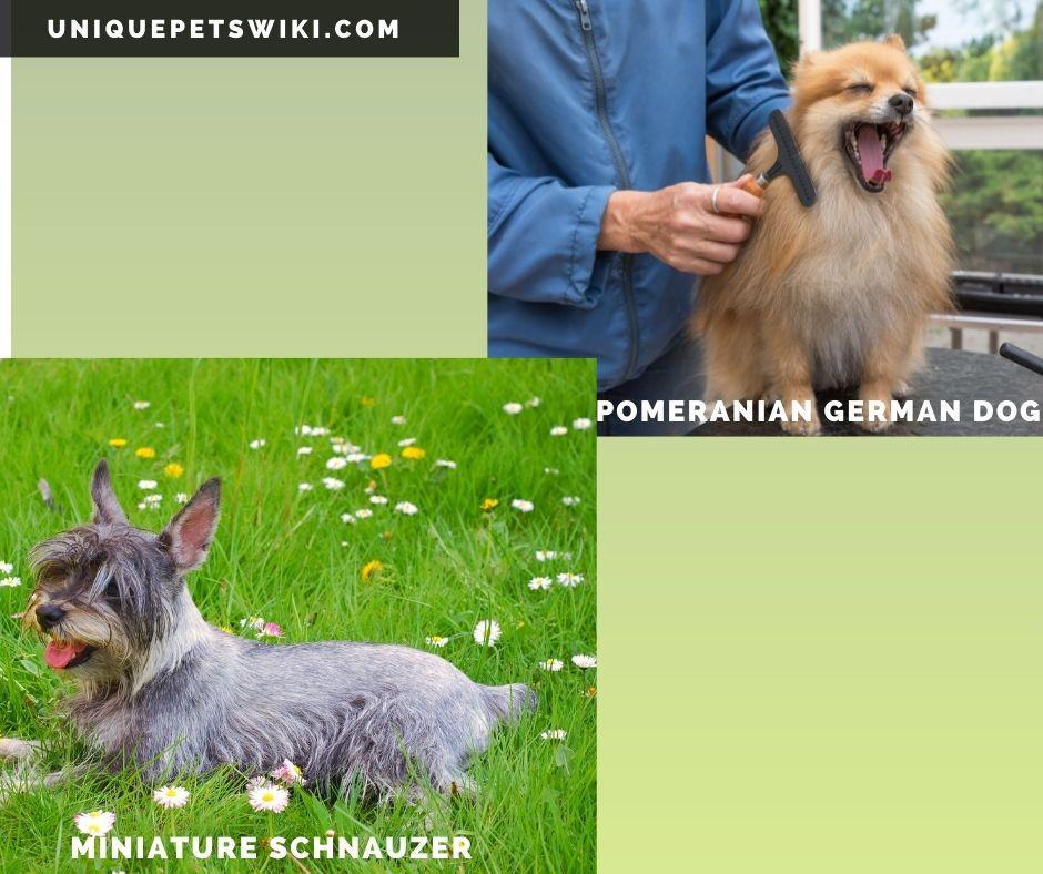 Pomeranian and Miniature Schnauzer