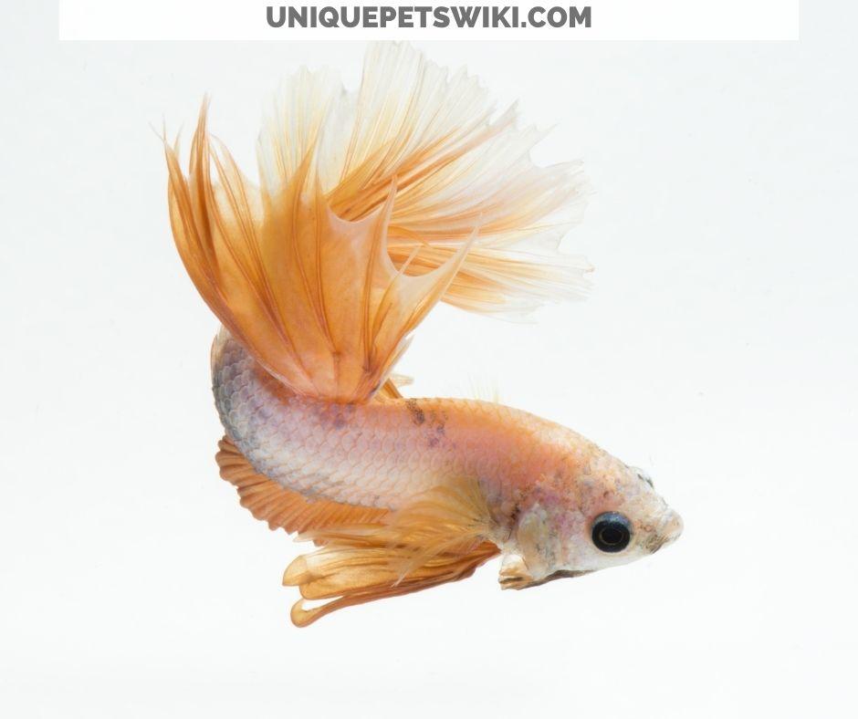 betta freshwater fish normal behaviors