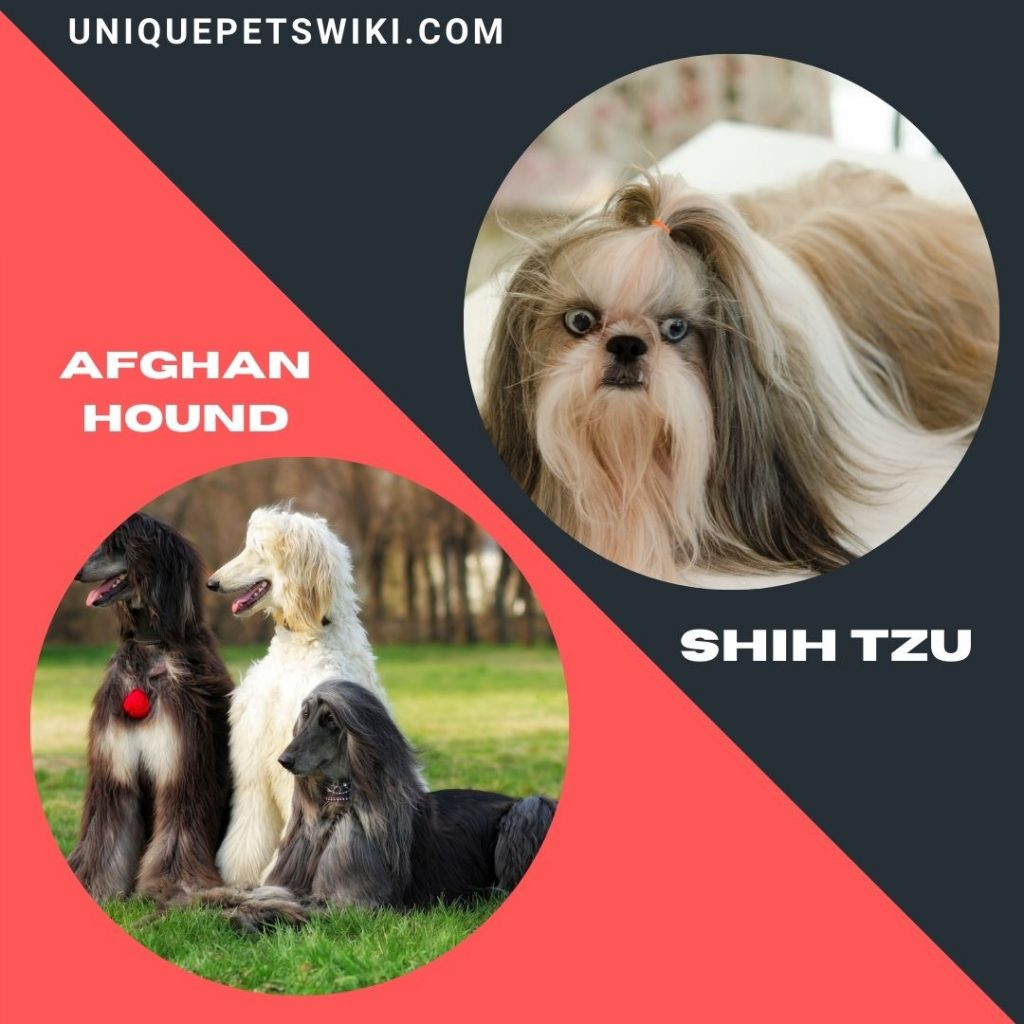 Afghan Hound and Shih Tzu long haired dog breeds