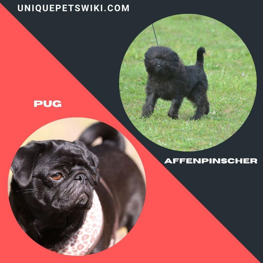 Pug and Affenpinscher small black dog breeds