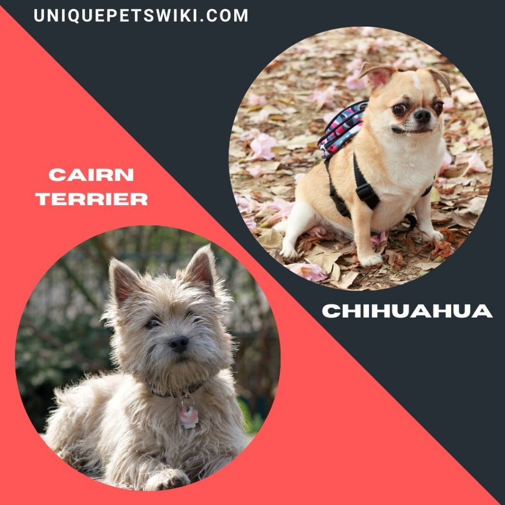 Cairn Terrier and Chihuahua dog breeds