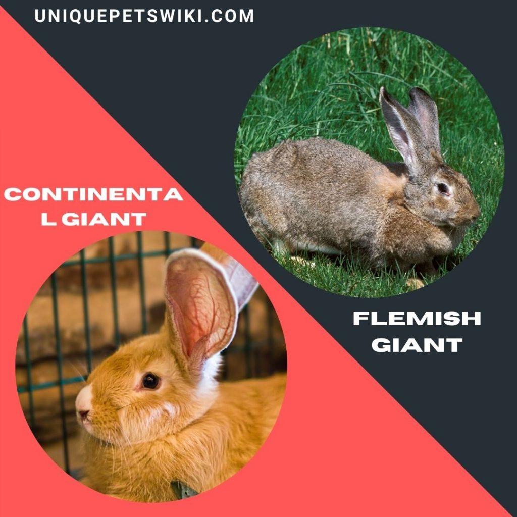 Continental Giant and Flemish Giant large rabbit breeds
