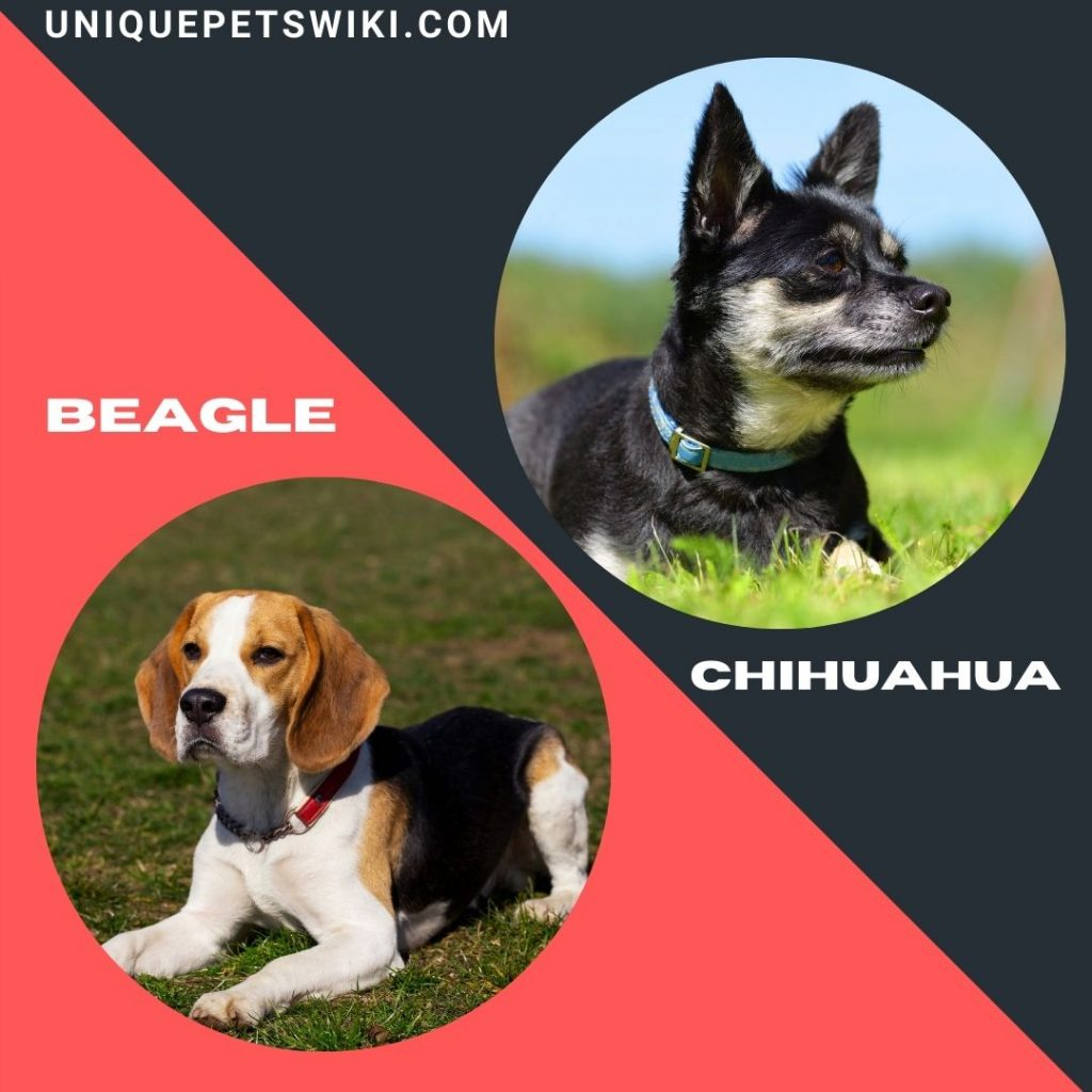 The Beagle and Chihuahua small healthiest dog breeds
