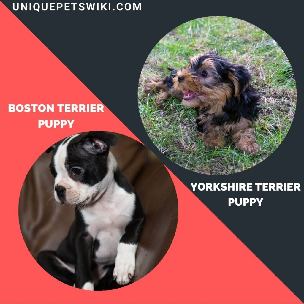 Yorkshire Terrier and Boston Terrier small puppy breeds