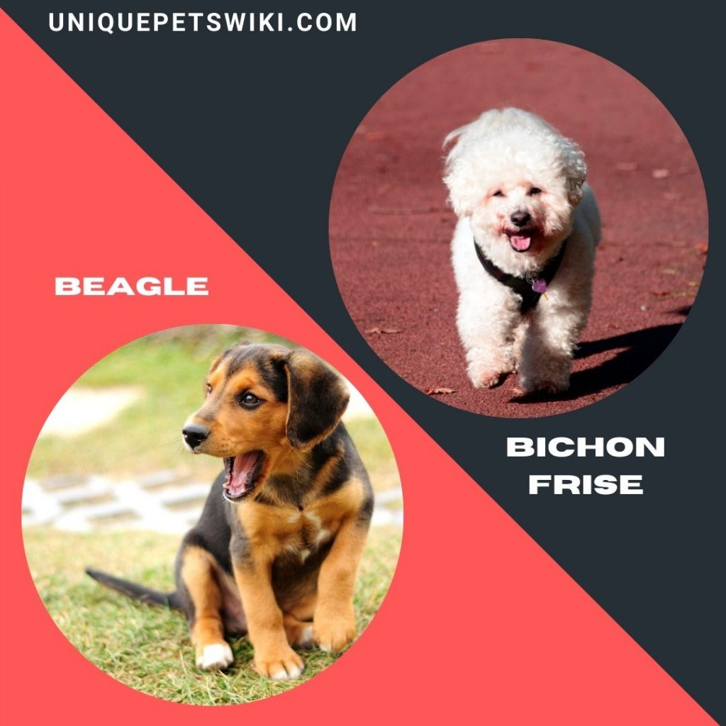 Beagle and Bichon Frise small dog breeds for adoption