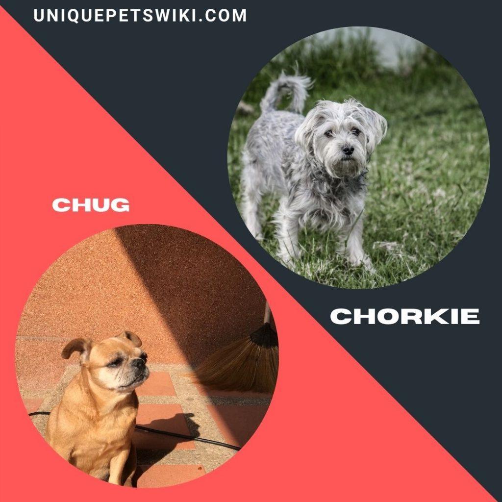 Chug and Chorkie small mixed dog breeds