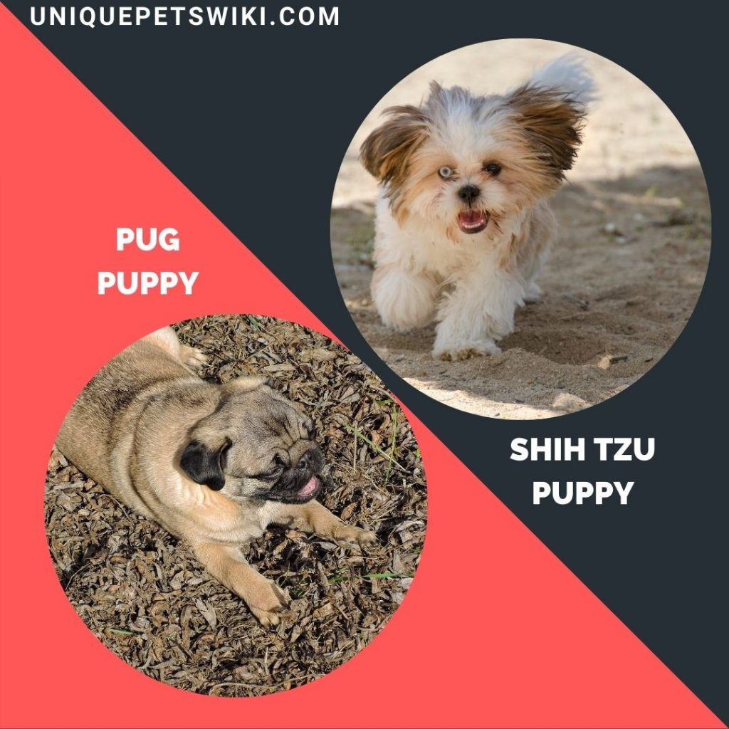 Pug and  Shih Tzu small puppy breeds