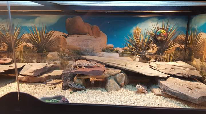 baby uromastyx substrate