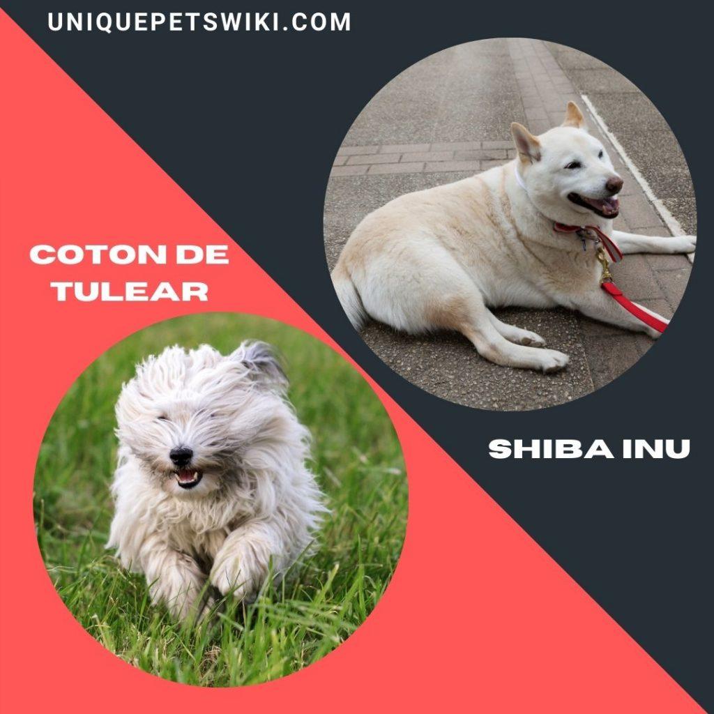 Coton De Tulear and Shiba Inu dog breeds
