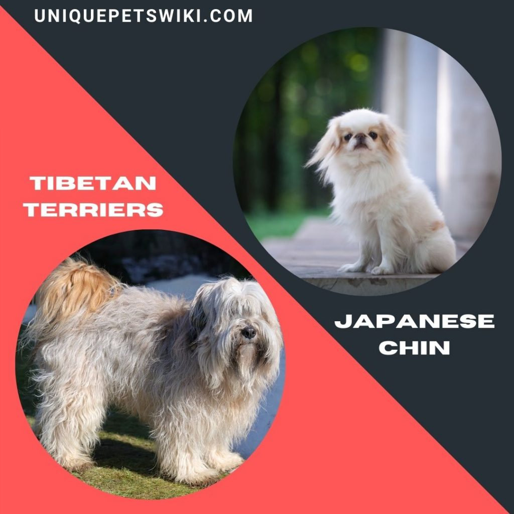 Tibetan Terriers and Japanese Chin small long haired dog breeds