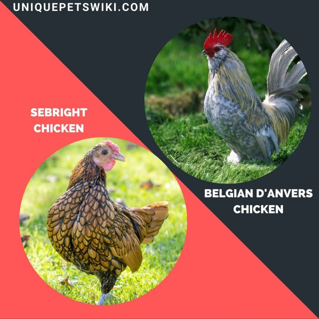 Belgian D'Anvers and sebright small chicken breeds
