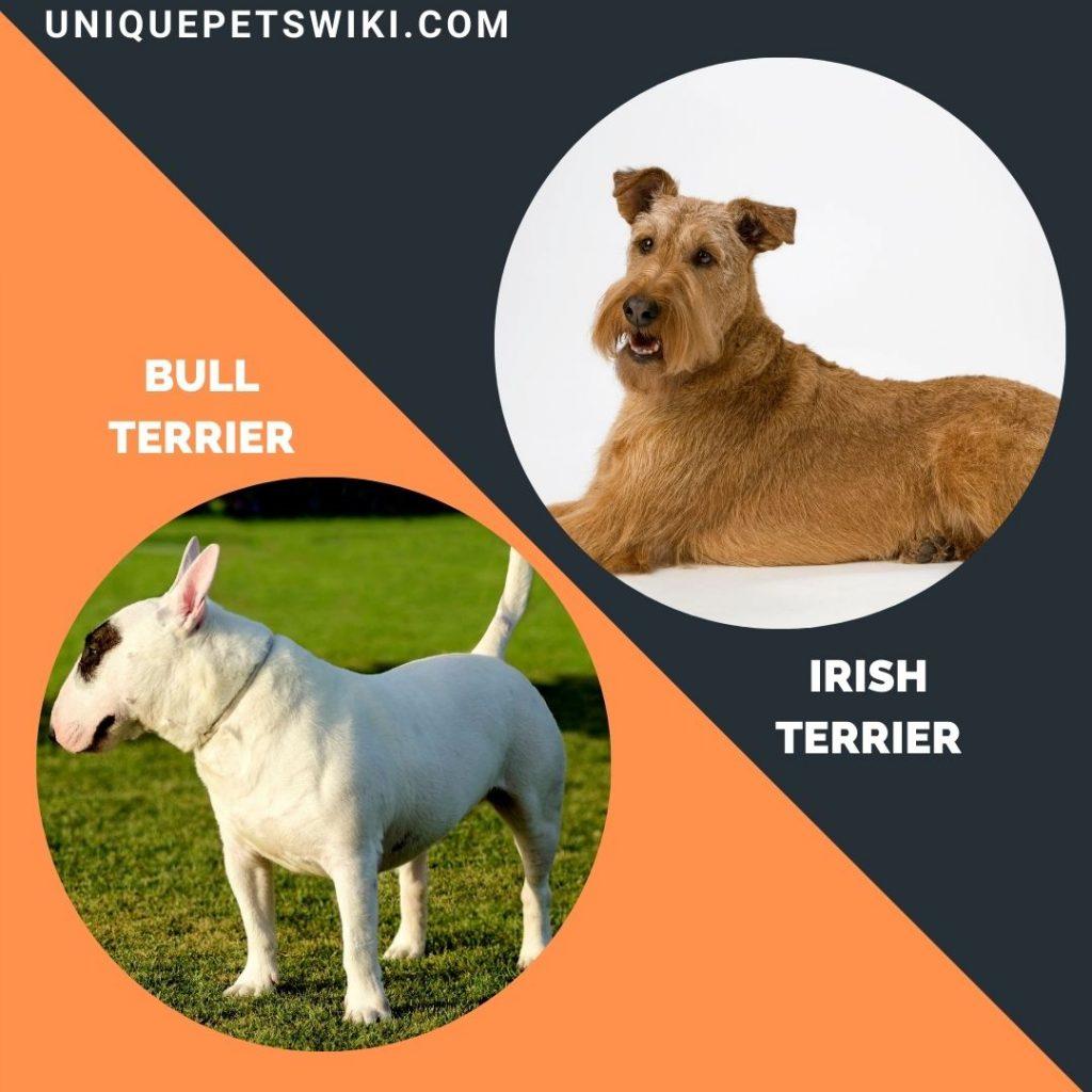 Bull Terrier and Irish Terrier