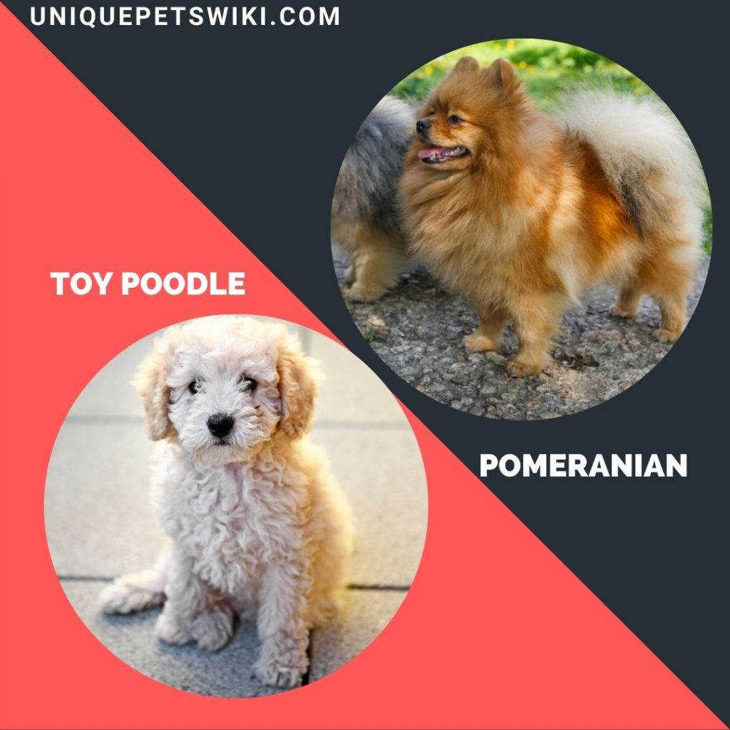 Pomeranian and Toy Poodle small puppy breeds