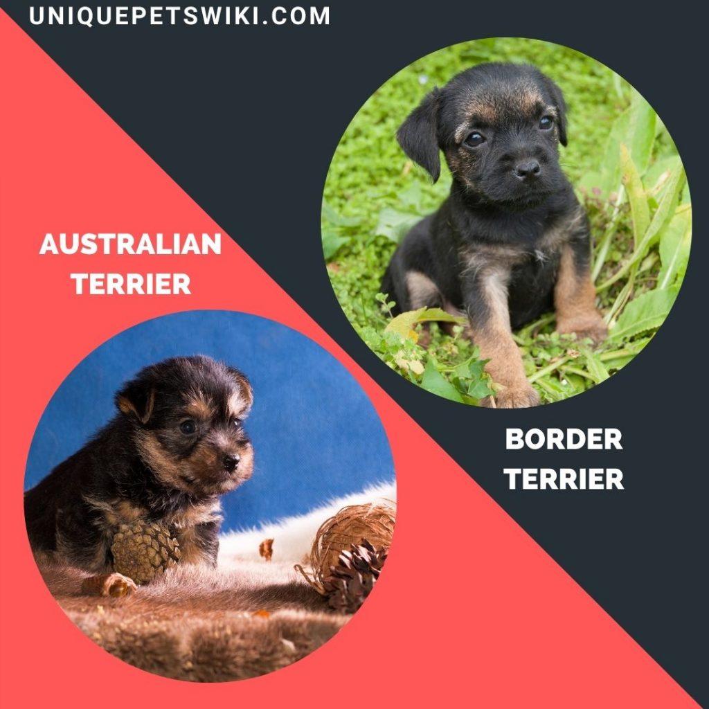 Australian Terrier and Border Terrier