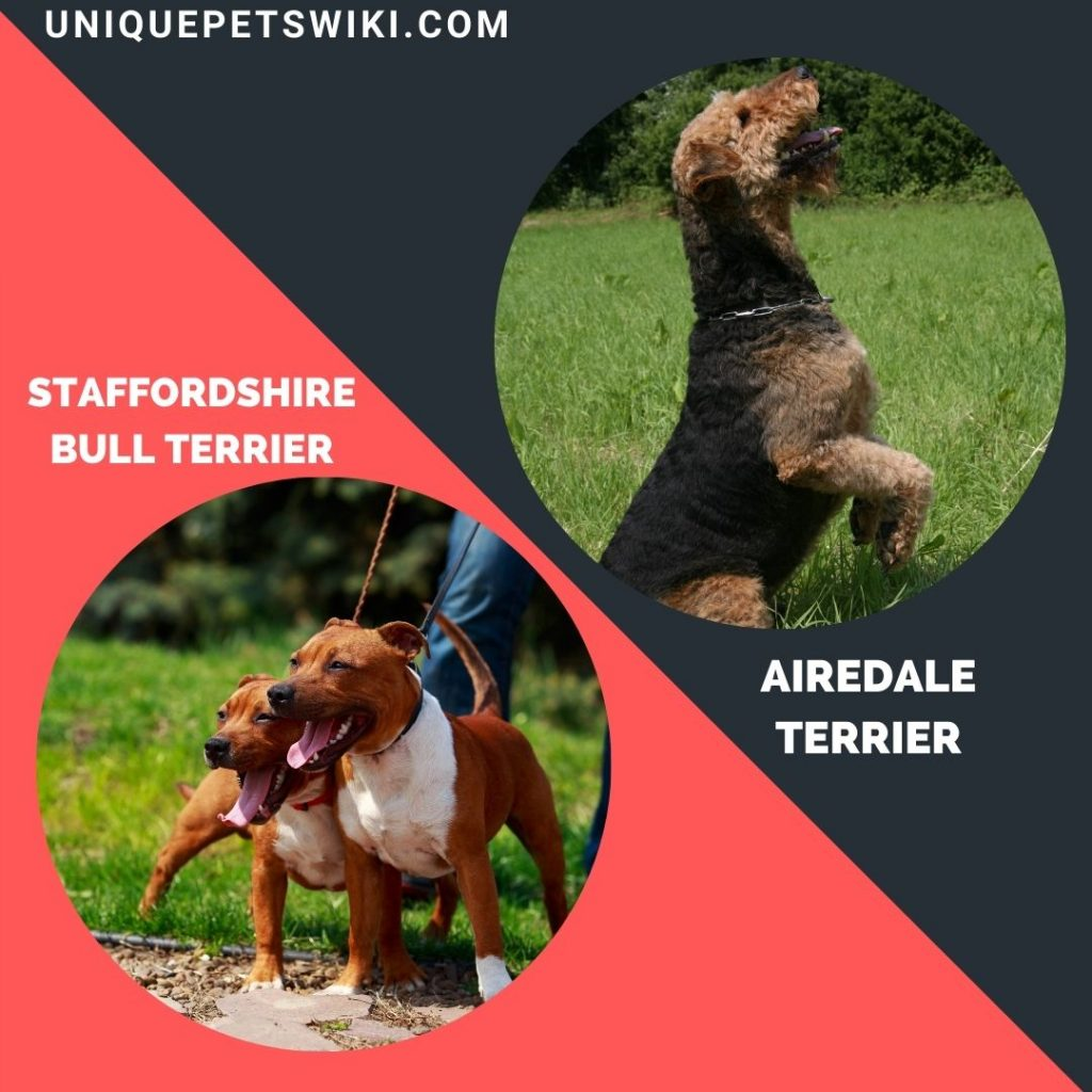 Staffordshire Bull Terrier and Airedale Terrier