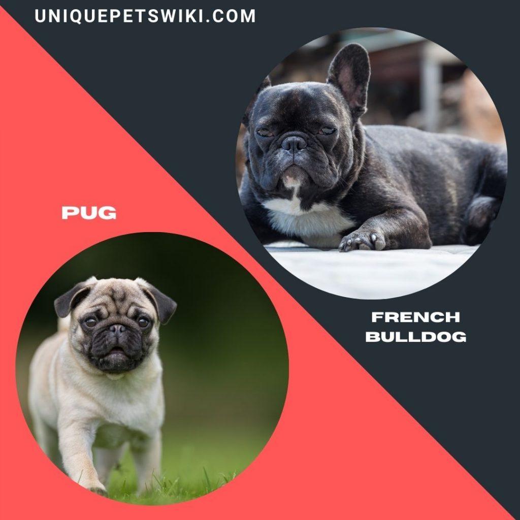 French Bulldog and pug calmest small dog breeds