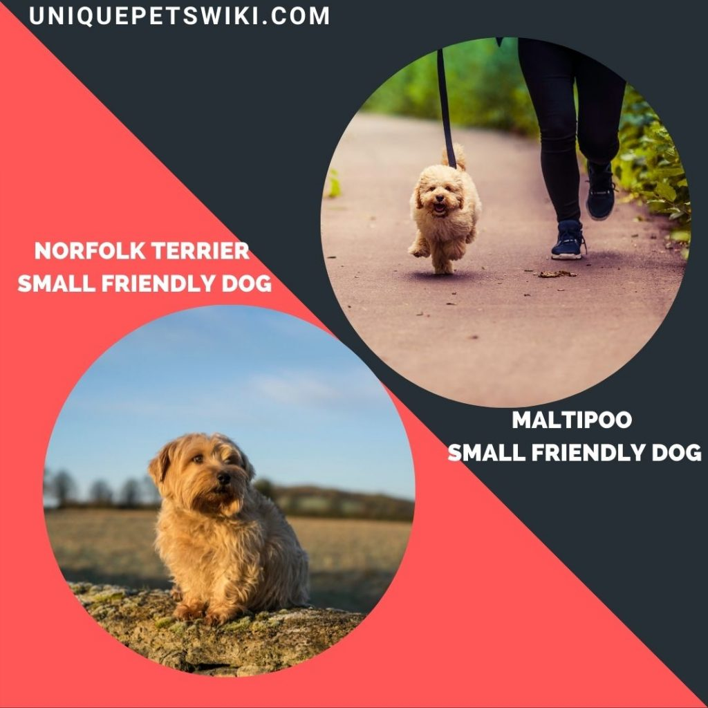 Maltipoo and Norfolk Terrier small friendly dogs
