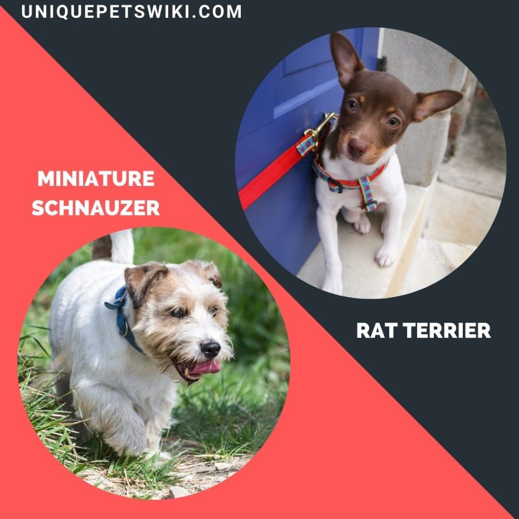 The Rat Terrier and Miniature Schnauzer small terrier breeds
