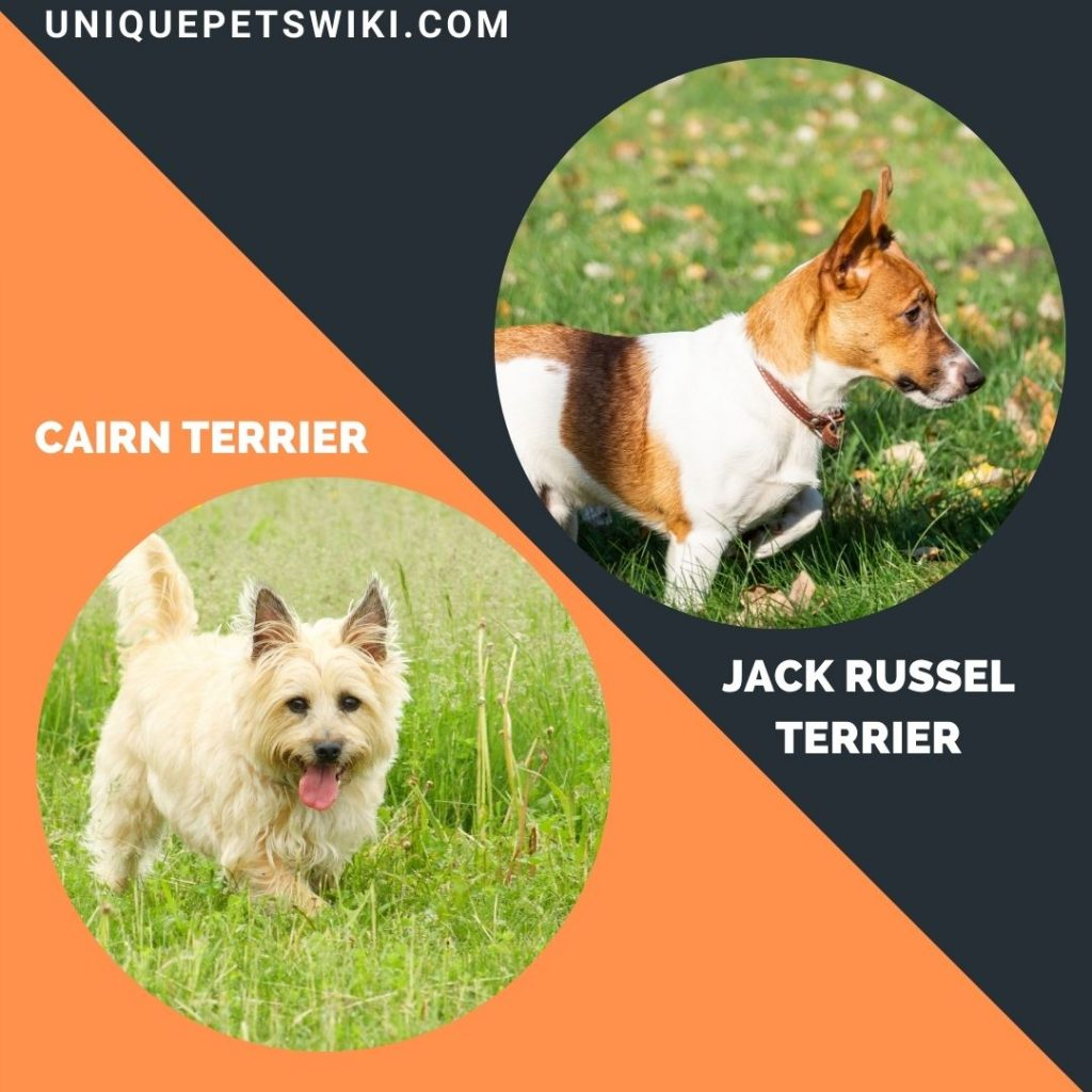 Cairn Terrier and Jack Russel Terrier