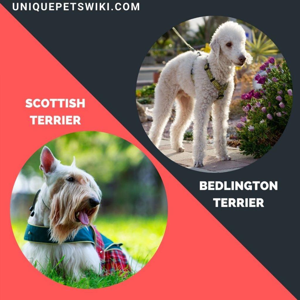 Scottish Terrier and Bedlington Terrier