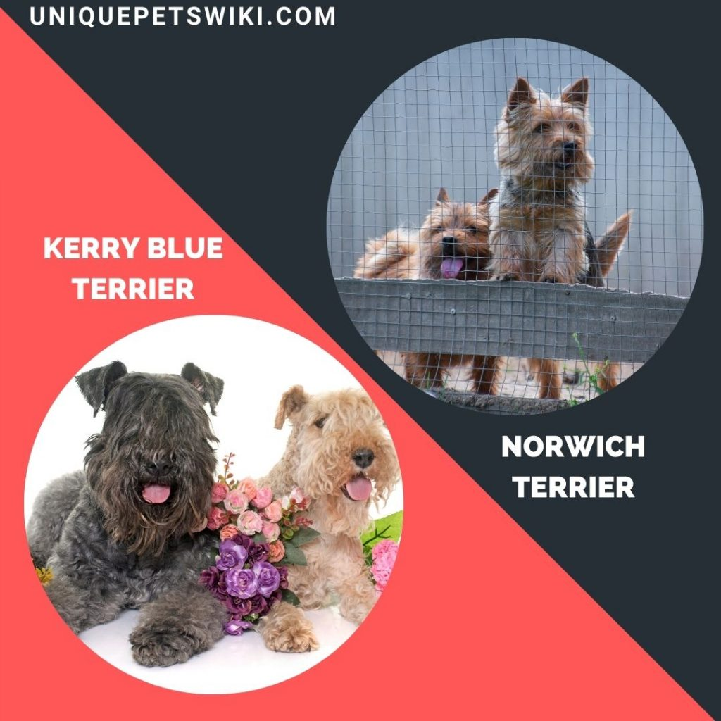 A group of Kerry Blue Terrier and Norwich Terrier dog breeds