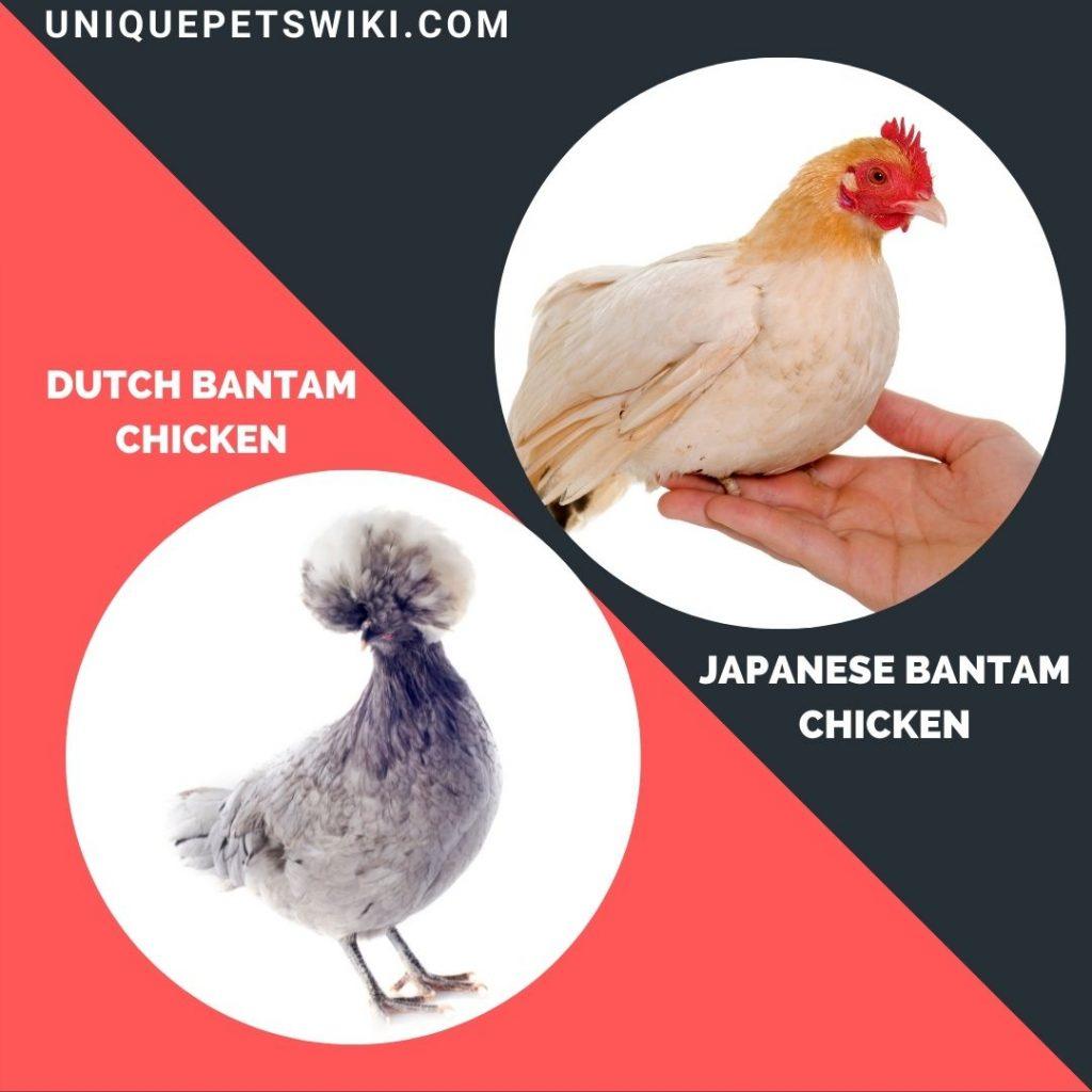 Dutch Bantam and Japanese Bantam small chickrn breeds